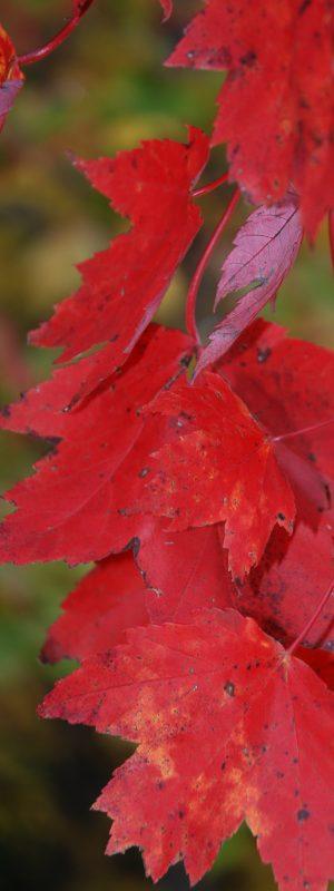 FL_érable rouge2 accueil