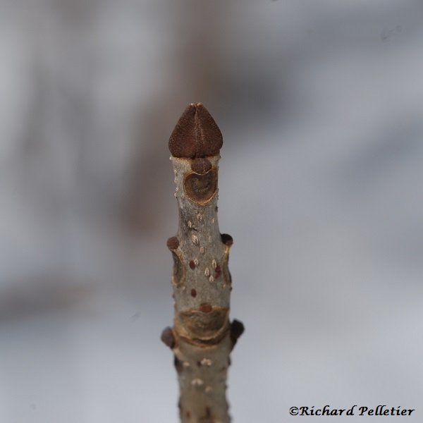 PBFraxinus-nigra