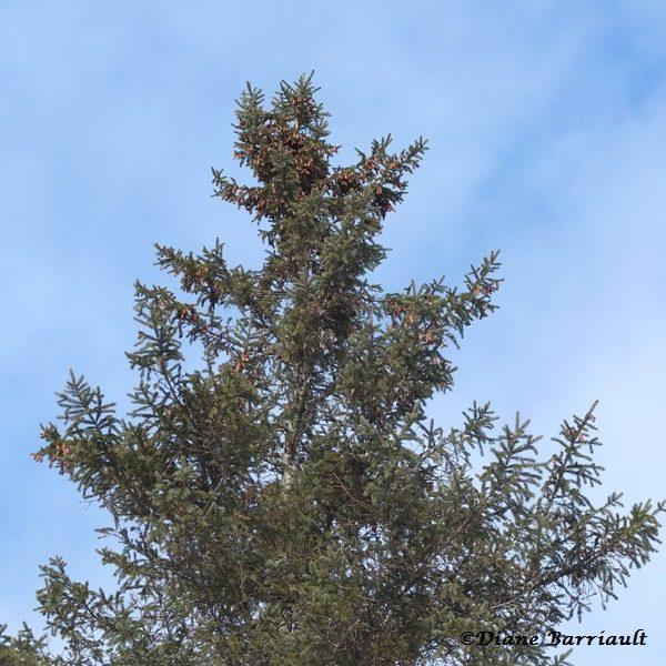 PA Picea glauca 02