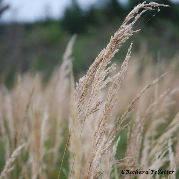 PT Calamagrostis2