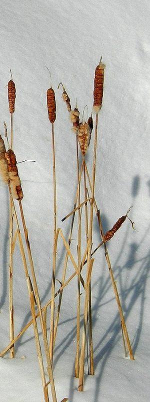 Quenouille toute douce avec leur ombres sur la neige. Groupe de copines qui résistent au vent et au froid ensemble.